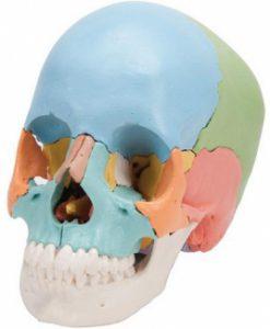 自律神経失調症に悩む人の頭蓋骨